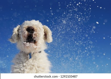 Funny view of goldendoodle dog playing in the snow over blue sky