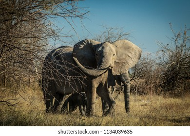 Funny and Wagging Trunk  Big African Elephant, Botswana, Africa