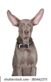 funny weimaraner dog with ears up