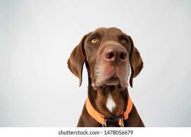Weimaraner Funny Images, Stock Photos & Vectors | Shutterstock