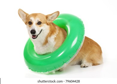 Funny welsh corgi pembroke with an inner tube