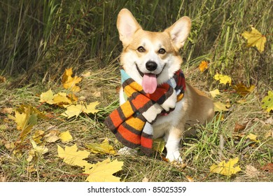 Funny welsh Corgi Pembroke sitting in autumn leaves