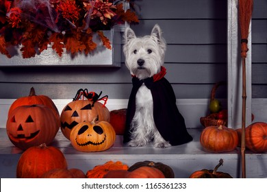 Funny west highland white terrier dog in scary halloween costume and black Dracula cloak sitting outdoor with  pumpkins with fear spooky faces and autumns fail leaves. Halloween night concept.