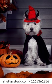 Funny west highland white terrier dog in scary halloween costume and red hat with devil horns sitting outdoor with  pumpkins with fear spooky faces and autumns fail leaves. Halloween night concept.