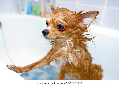 funny wet chihuahua dog in bathroom
