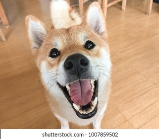 funny white and brown shiba inu dog. hungry, ask for food and want to eat or playing with dog owner. close up shot.