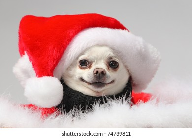 funny white chihuahua wearing santa hat and smiling