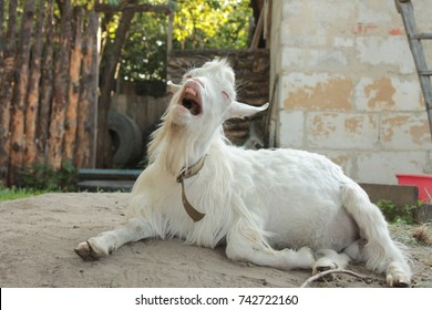 funny white goat