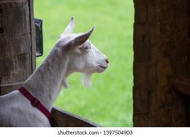 Funny white goat looking longingly out barn door window at fresh green grass.