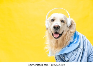 A funny white golden retriever dressed in denim jacket and helmets, sometimes listening to music
