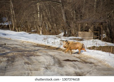 Funny white little boar with black spots runs across rural snowy road on background of dense forest in year of boar