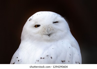 funny white polar owl in the zoo