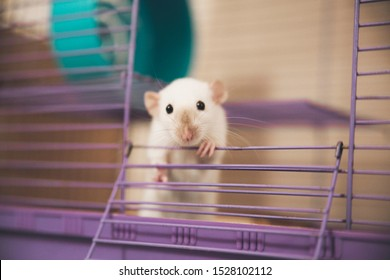 Funny white rat looking out of a cage