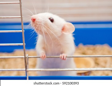Funny white rat looking out of a cage (shallow DOF, selective focus on the rat nose and whiskers)