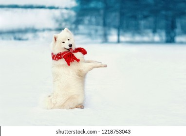 Funny white Samoyed dog in scarf stands on hind legs at snow in winter day on empty copy space snowy background
