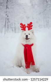 Funny white Samoyed dog in scarf  at snow in winter. Beautiful Samoyed dog posing as a reindeer