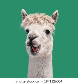 Funny white smiling alpaca isolated on green background. South American camelid.