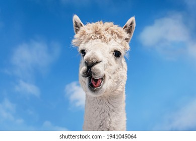 Funny white smiling alpaca on the background of blue sky. South American camelid.