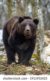 Funny wild adult Brown Bear (Ursus Arctos) raised his paw in the winter forest. Dangerous animal in natural habitat. Wildlife scene