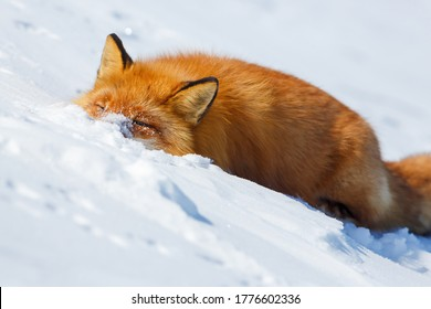 Funny wild red fox in the snow. The fox washes its face in clear snow. Watching wildlife and animal habits. Tundra animals. April in the Arctic in the far north. Frosty weather. The nature of Siberia.