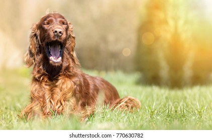 Funny yawning Irish Setter dog - banner with copy space