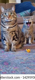 funny yelling/yawning tabby cat indoors