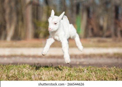Funny young goatling jumps in the air