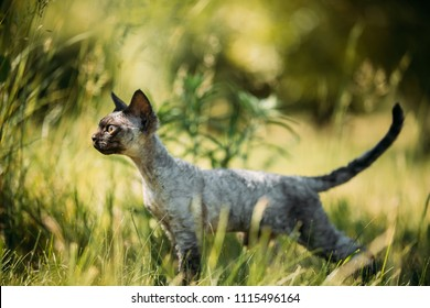 Funny Young Gray Devon Rex Kitten In Green Grass. Short-haired Cat Of English Breed.