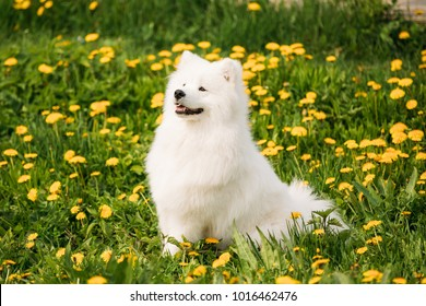 Funny Young Happy Smiling White Samoyed Dog Or Bjelkier, Smiley, Sammy Sit Outdoor In Green Spring Meadow With Yellow Flowers. Playful Pet Outdoors.