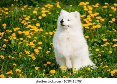 Funny Young Happy Smiling White Samoyed Dog Or Bjelkier, Sammy Sit Outdoor In Green Spring Meadow With Yellow Flowers. Playful Pet Outdoors.