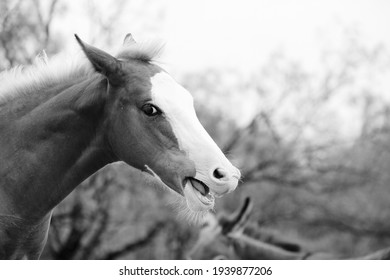 Funny young horse face talking shows colt in black and white.