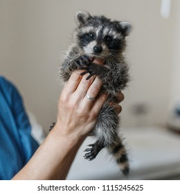 Funny young raccoon in the hands of a veterinarian