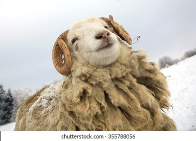 Funny young ram. Skudde sheep on winter farm.