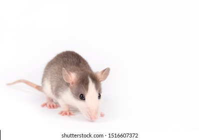 Funny young rat isolated on white. Rodent pets. Domesticated rat close up. Rat is sniffing something
