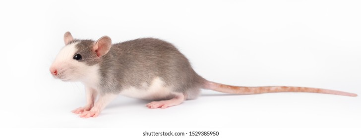 Funny young rat isolated on white. Rodent pets. Domesticated rat close up. Gray and white rat close up