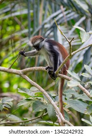 Funny young Red Colombus Monkey in forest