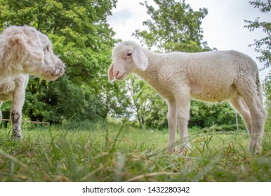funny young sheep meets white maltipoo dog portrait