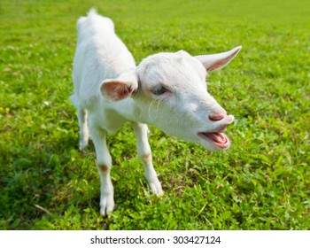 Funny young white goat on green grass