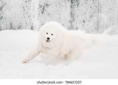 Funny Young White Samoyed Dog (Bjelkier, Smiley, Sammy) Playing Fast Running Outdoor In Snow, Winter Season. Playful Pet Outdoors.