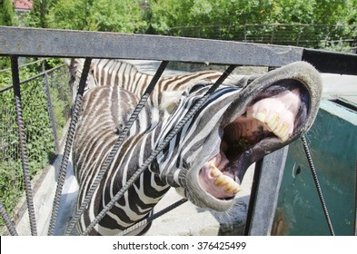 Funny zebra showing its teeth as if laughing (begging for food)