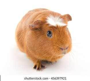 Funny-looking guinea pig (isolated on white)