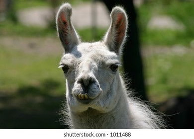 Funny-looking llama with bad teeth.