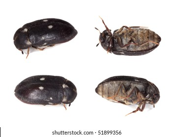 Fur beetle, different positions isolated on white. This beetle is a pest in homes.