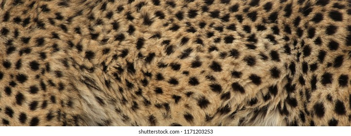 The fur of a cheetah (Acinonyx jubatus).