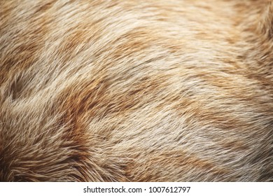 Fur of ginger cat
