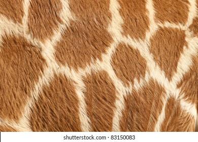 Fur of a giraffe