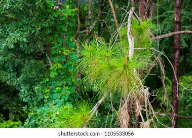 Fur green leaves of pine tree in botanical park garden with copy space