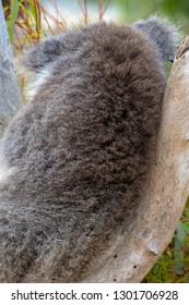 Fur of koala bear on its back in Western Australia sitting in tree