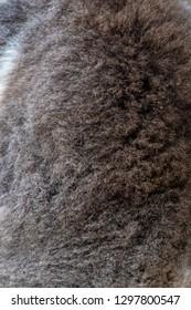 Fur on the back of koala bear in Western Australia