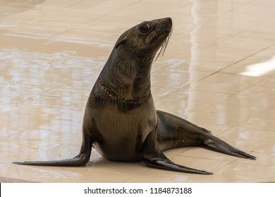 Fur seal (Arctocephalinae)
